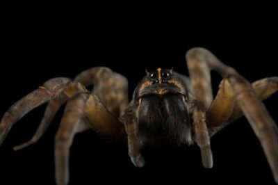 An adult female wolf spider (Hogna helluo).