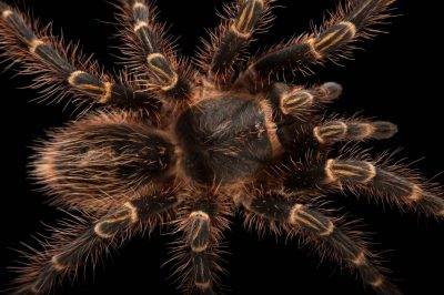 A Chaco golden knee tarantula (Grammostola pulchripes) at the Audubon Zoo in New Orleans.