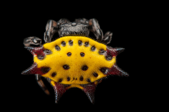 Picture of a spiny-backed orbweaver spider or crab spider (Gasteracantha cancriformis) at the Audubon Insectarium in New Orleans.