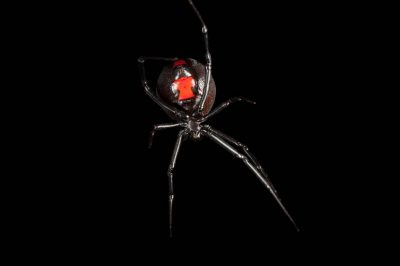 A southern black widow (Latrodectus mactans) at the Audubon Zoo in New Orleans.