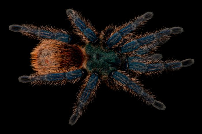 Greenbottle blue tarantula (Chromatopelma cyaneopubescens) at the Lincoln Children's Zoo.