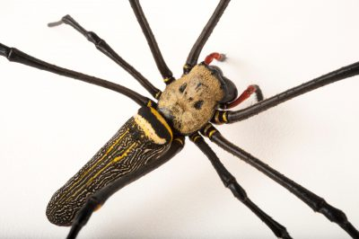 A golden orb-web spider (Nephila maculata) at Omaha's Henry Doorly Zoo and Aquarium.