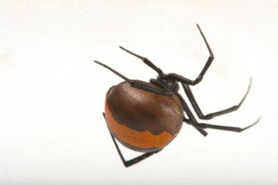 Photo: A Redback spider (Latrodectus hasselti) at the Taronga Zoo.