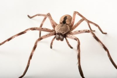 Picture of a banded huntsman spider (Holconia immanis) at the Taronga Zoo.
