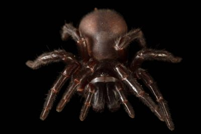 Photo: Sydney funnel-web spider (Atrax robustus) at the Taronga Zoo in Sydney, Australia.