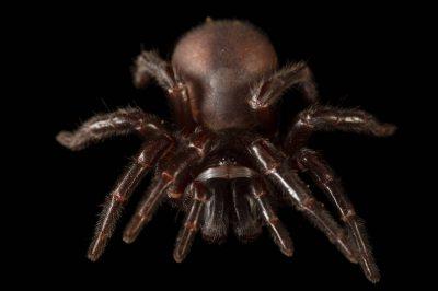 Photo: Sydney funnel-web spider (Atrax robustus) at the Taronga Zoo in Sydney, Australia.