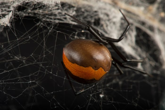 Photo: A redback spider (Latrodectus hasselti) at the Taronga Zoo.