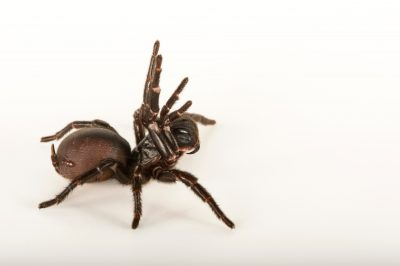 Photo: A Sydney funnelweb spider (Atrax robustus) at the Taronga Zoo.