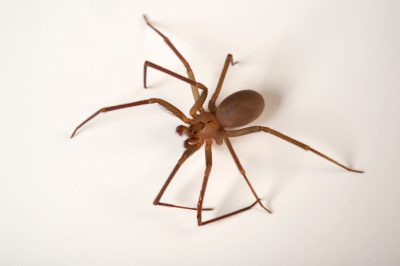 A Texas recluse spider (Loxosceles devia) at the Gladys Porter Zoo in Brownsville, Texas.