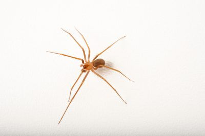 A brown recluse spider (Loxosceles reclusa) at the Audubon Zoo in New Orleans, Louisiana.