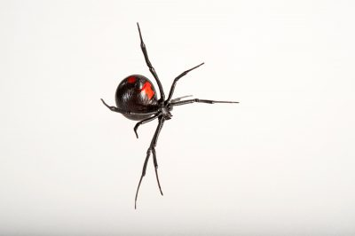 A Southern black widow (Latrodectus mactans) at the Audubon Zoo in New Orleans, Louisiana.