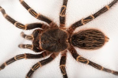 A Chaco golden knee tarantula (Grammostola pulchripes) at the Audubon Zoo in New Orleans, Louisiana.