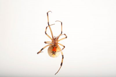 A brown widow spider (Latrodectus geometricus) at the Audubon Zoo in New Orleans, Louisiana.