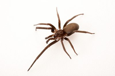 A Southern house spider (Kukulcania hibernalis) at the Insectarium in New Orleans, Louisiana.