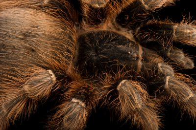 Picture of a Pink zebra beauty tarantula (Eupalaestrus campestratus) at the Santa Barbara Zoo.