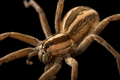Picture of a rabid wolf spider (Lycosa rabida) at the Dallas Zoo.