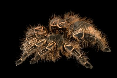 Picture of a Pink zebra beauty tarantula (Eupalaestrus campestratus) at the Dallas Zoo.