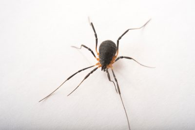 Picture of a Harvestman spider (Eumesosoma) at the Dallas Zoo.