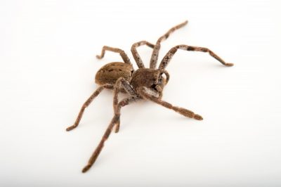 Picture of a banded huntsman spider (Holconia immanis) at the Healesville Sanctuary.