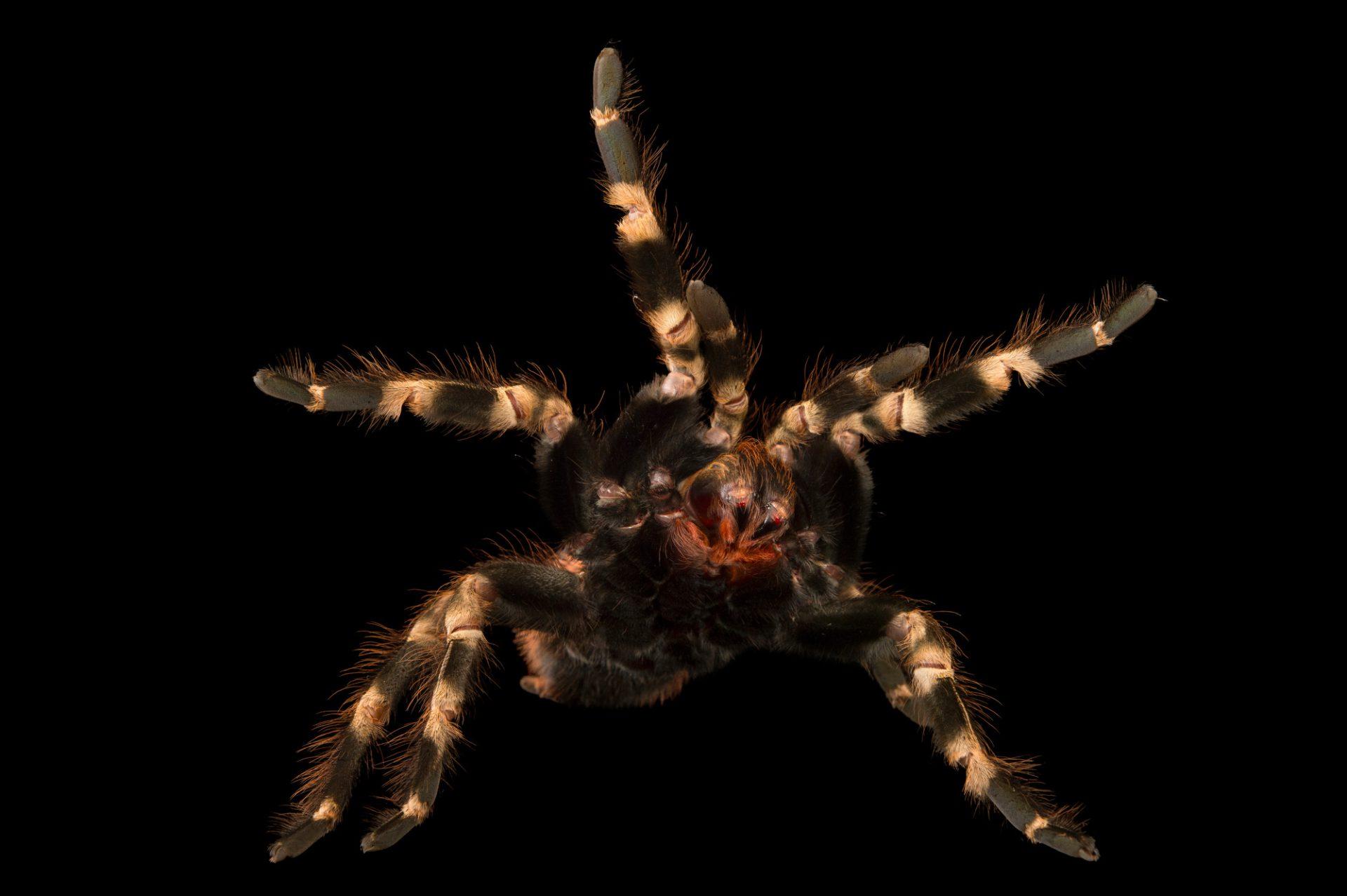 Photo: A Brazilian red and white tarantula (Nhandu chromatus) at the Virginia Zoo.