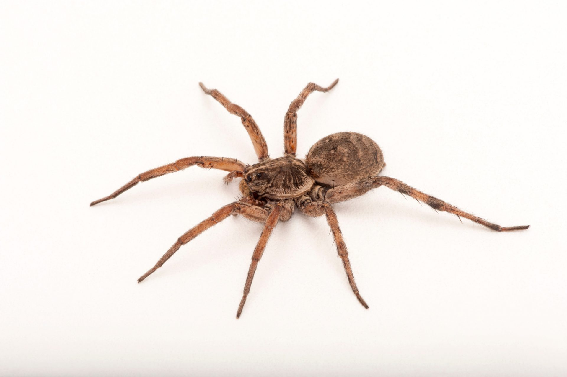 A Carolina wolf spider (Hogna carolinensis) at the Fort Worth Zoo.