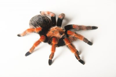 Picture of a Mexican fireleg tarantula (Brachypelma boehmei) at the Brevard Zoo.