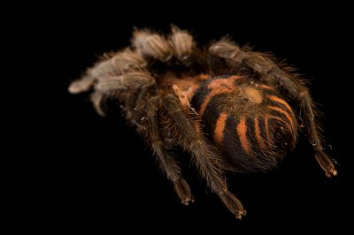Picture of a Costa Rican tiger rump tarantula (Cyclosternum fasciatum) at the Brevard Zoo.
