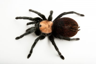 A Mexican golden red-rump tarantula (Brachypelma albiceps) at the Fort Worth Zoo.