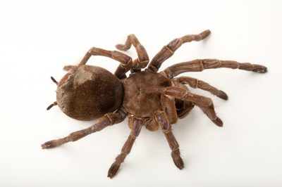 A goliath birdeating tarantula (Theraphosa blondi) at the Fort Worth Zoo.