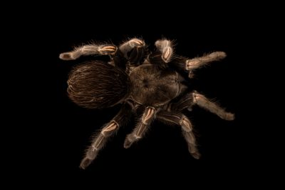 Picture of a Brazilian giant whiteknee tarantula (Acanthoscurria geniculata) at the St. Louis Zoo.
