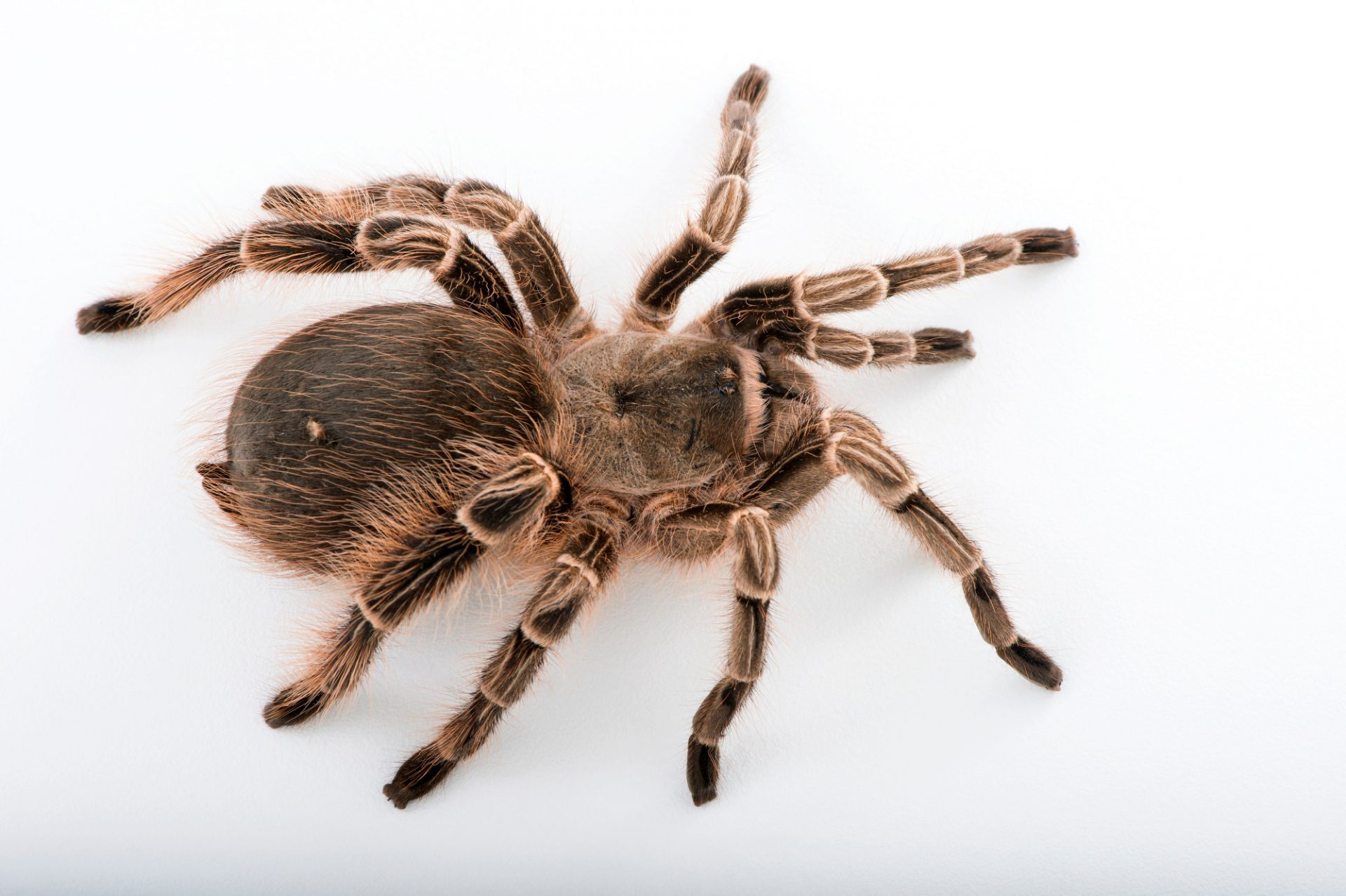 Picture of a pink zebra beauty tarantula (Eupalaestrus campestratus) at the St. Louis Zoo.
