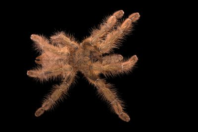 Picture of an endangered red slate ornamental tarantula (Poecilotheria rufilata) at the St. Louis Zoo.