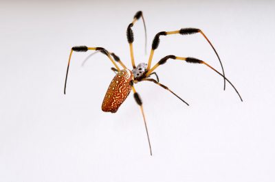 Picture of a golden silk spider (Nephila clavipes) at the St. Louis Zoo.