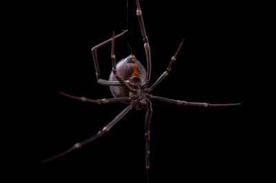 Picture of a Northern black widow spider (Latrodectus variolus) at the St. Louis Zoo.