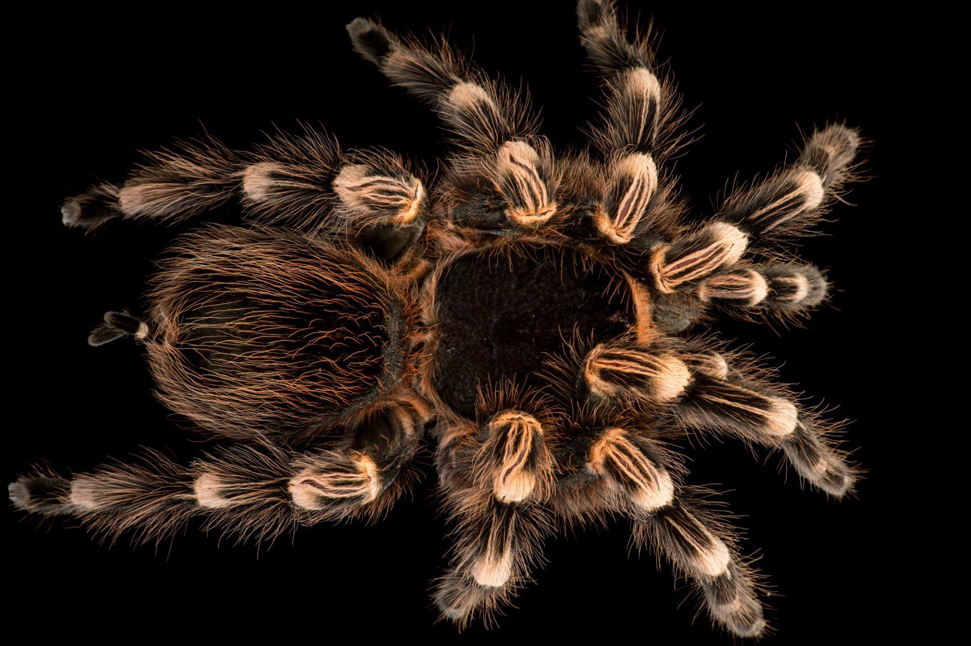Picture of a Brazilian whiteknee tarantula (Acanthoscurria geniculata) at the Central Florida Zoo.