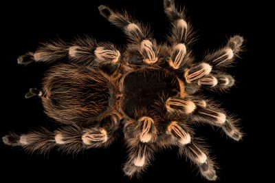 Picture of a Brazilian whiteknee tarantula (Acanthoscurria geniculata) at the Central Florida Zoo.