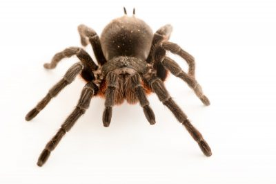 Picture of a Brazilian greysmoke tarantula (Grammostola alticeps) at the Central Florida Zoo.