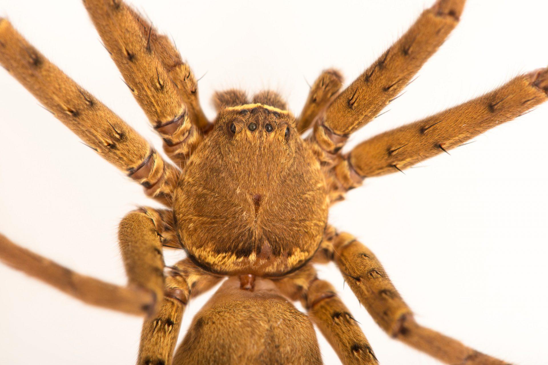 Picture of a Huntsman spider (Heteropoda venatoria) at the Central Florida Zoo.