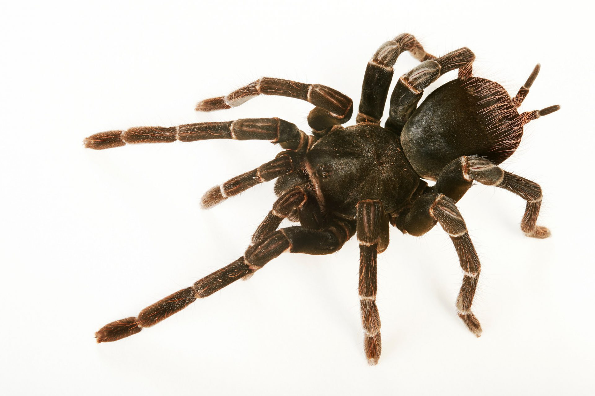 Picture of a Bolivian blue-legged tarantula (Pamphobeteus antinous) at the Wellington Zoo.