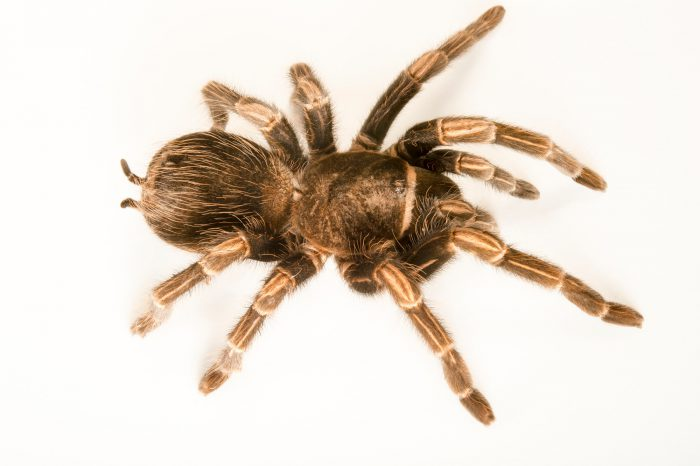 Picture of an Andean striped-kneed tarantula (Lasiodorides striatus) at the Wellington Zoo.