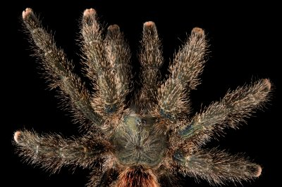 Picture of a Peruvian pinktoe tarantula (Avicularia urticans) at the Wellington Zoo.