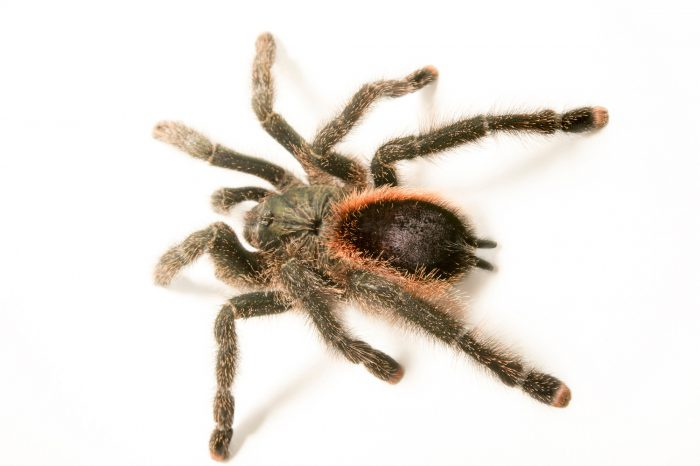 Picture of a Peruvian pink-toed tarantula (Avicularia urticans) at the Wellington Zoo