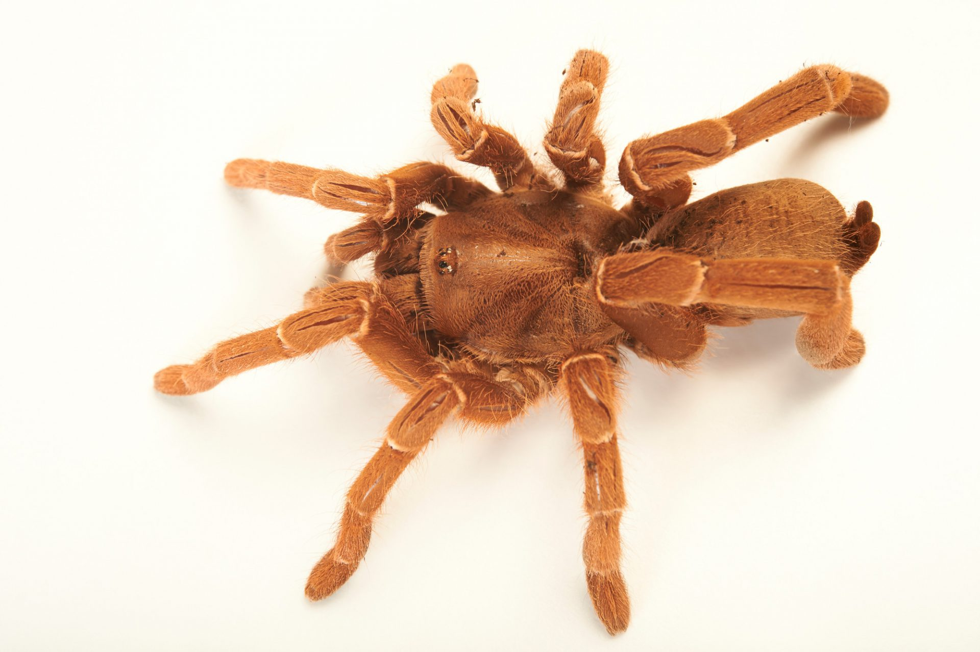 Picture of a brown baboon spider (Pelinobius muticus) at the Wellington Zoo.
