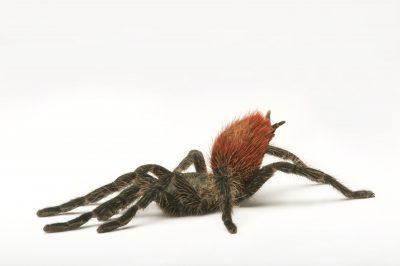Flame rump tree spider (Thrixopelma ockerti) at the Henry Doorly Zoo and Aquarium.