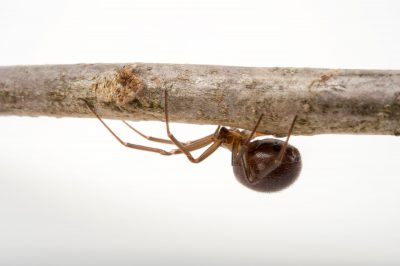 Picture of a female false black widow spider (Steatoda grossa) at the Knoxville Zoo.