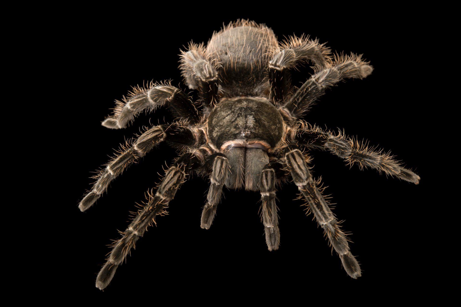 Photo: Curly hair tarantula (Brachypelma albopilosum) at the Topeka Zoo.