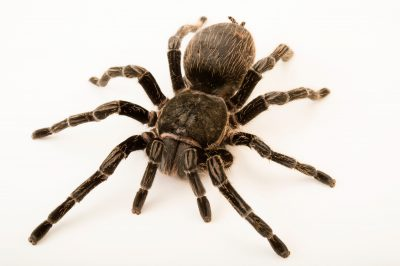 Photo: A curly hair tarantula (Brachypelma albopilosum) at the Topeka Zoo.