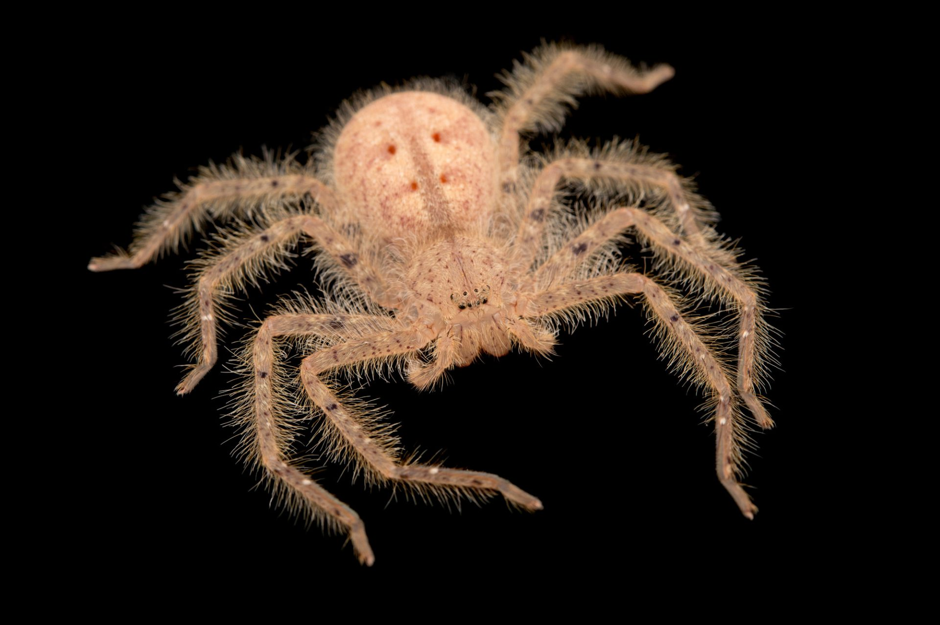 Photo: Malaysian orange huntsman spider, often called the David Bowie spider (Heteropoda davidbowie) from a private collection.