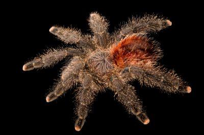 Photo: Amazon pink toe tarantula (Avicularia amazonica) at the Loveland Living Planet Aquarium in Draper, UT.