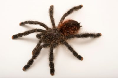 Photo: Amazon pink toe tarantula (Avicularia amazonica) at the Loveland Living Planet Aquarium in Draper, UT.